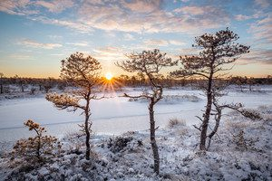 Bog pines warmed by the rising sun