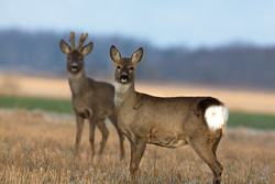 Roe deer couple on the field