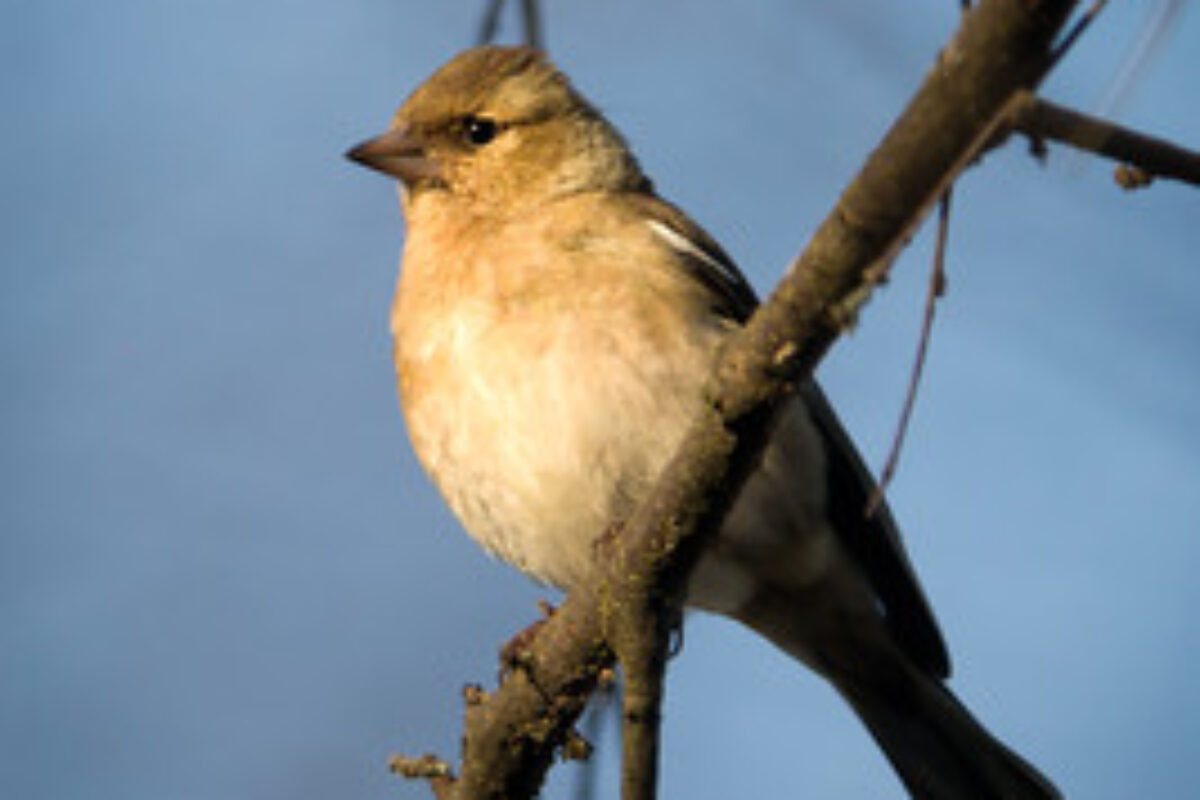 The common chaffinch (female)