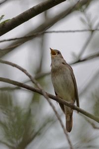 Thrush nightingale