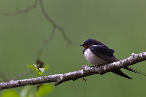 Barn swallow on the branch
