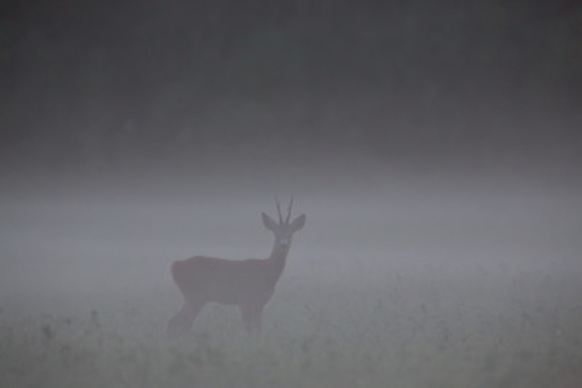 Roe deer buck in the mist