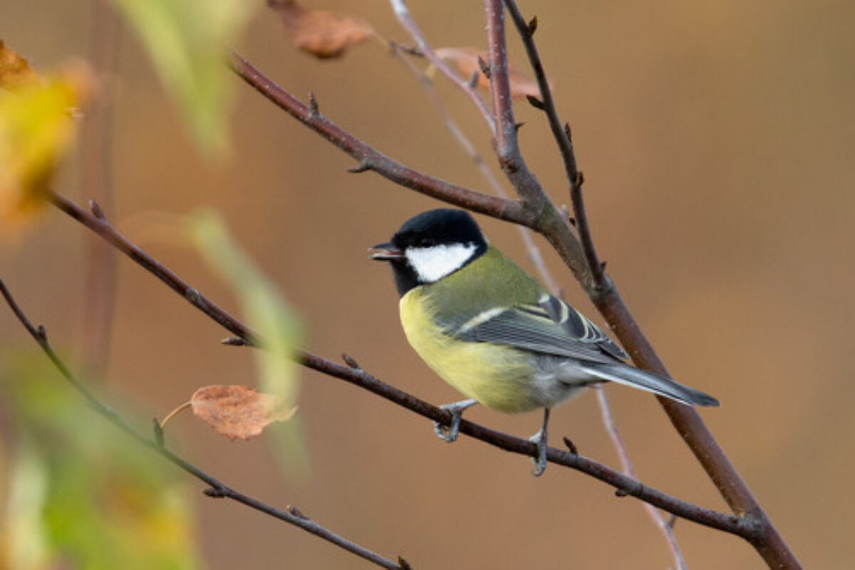 Great tit – Parus major