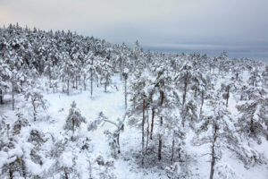 Snow covered treetops
