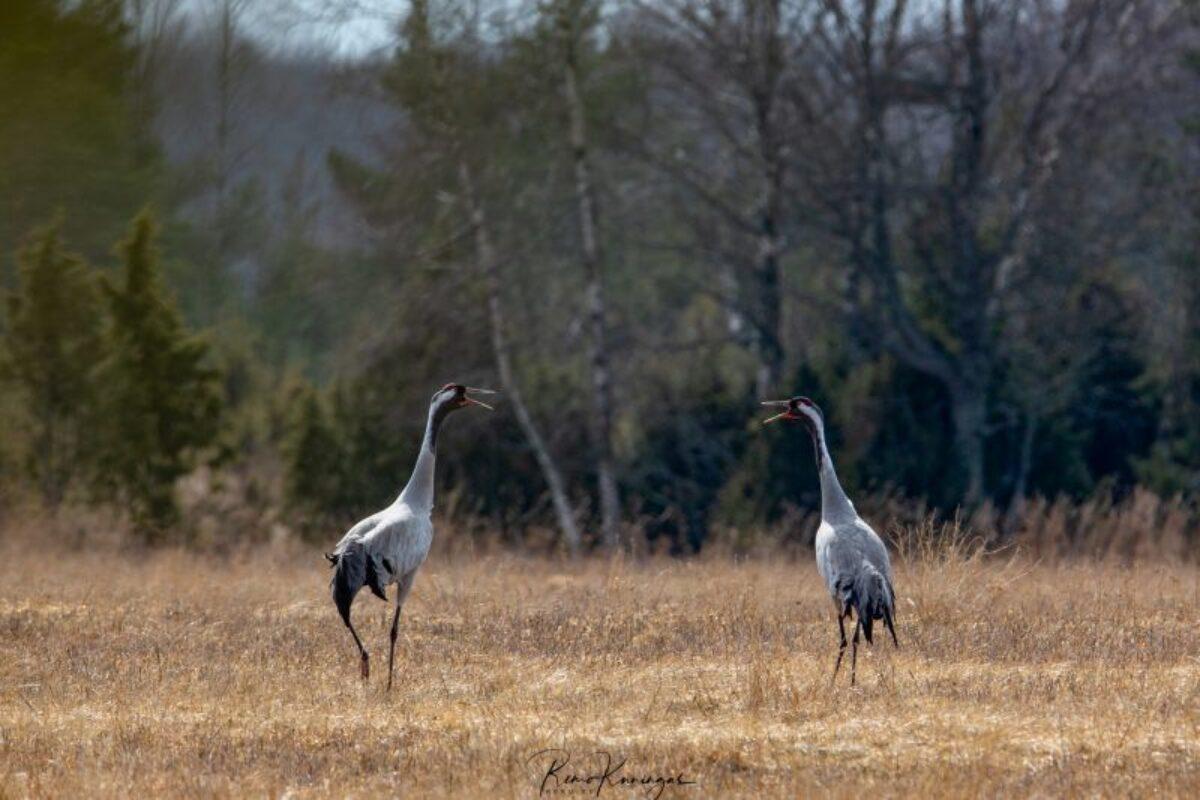 Crane pair calling together