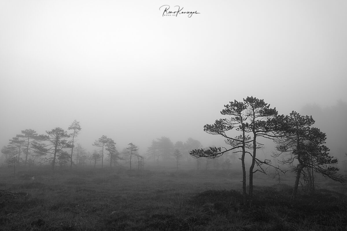 Bog pines in the fog