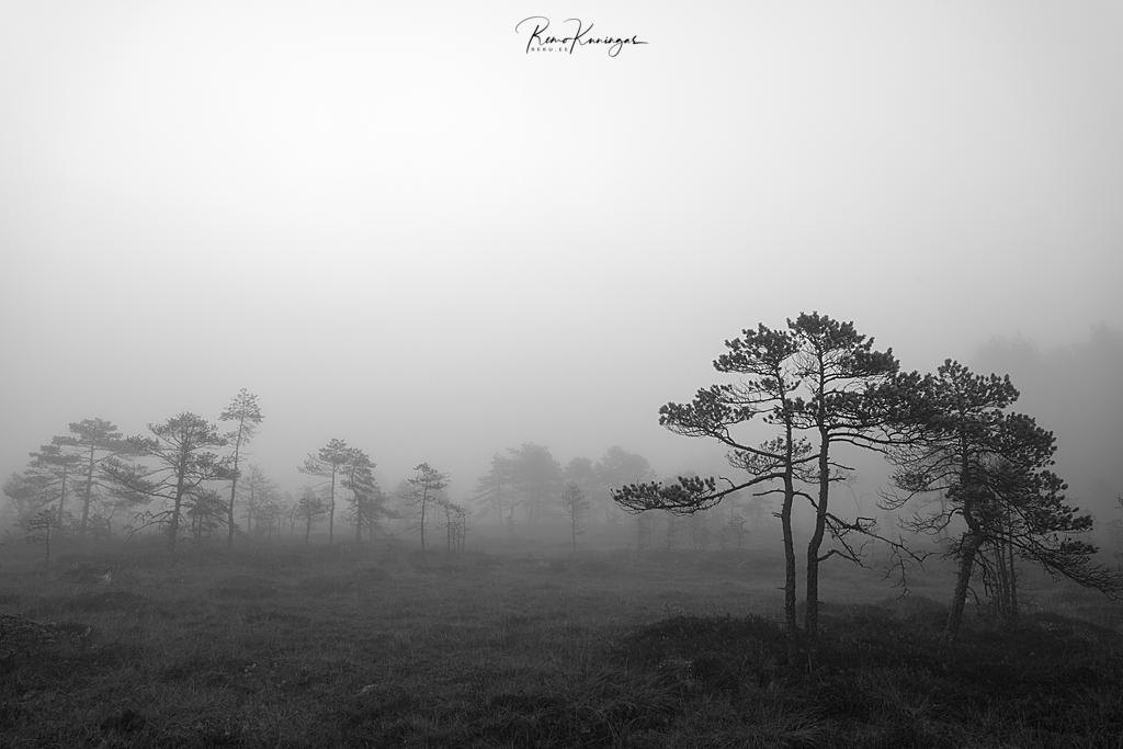 Bog pines in the fog