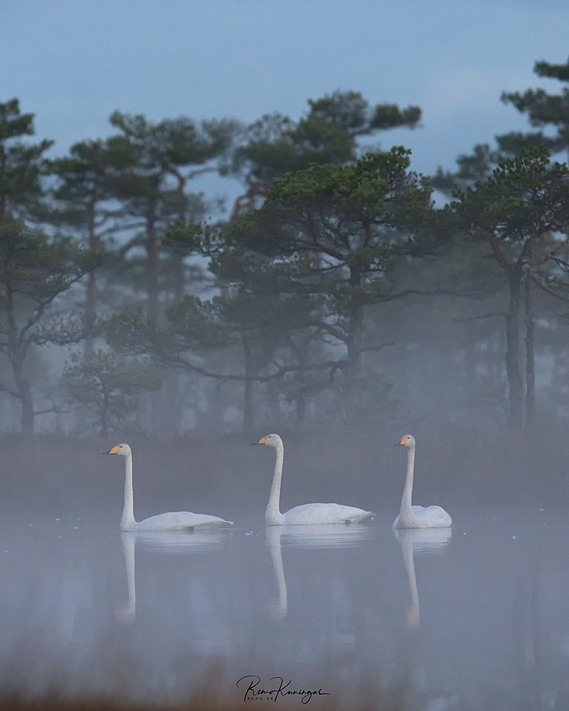 Whooper Swans on a bog pond