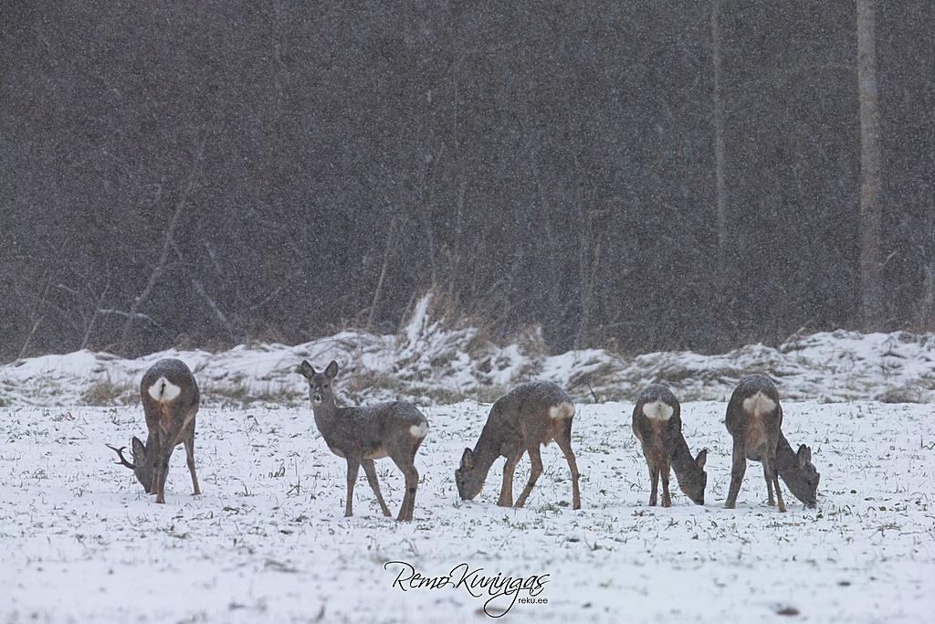 Roe deer pack in snowfall
