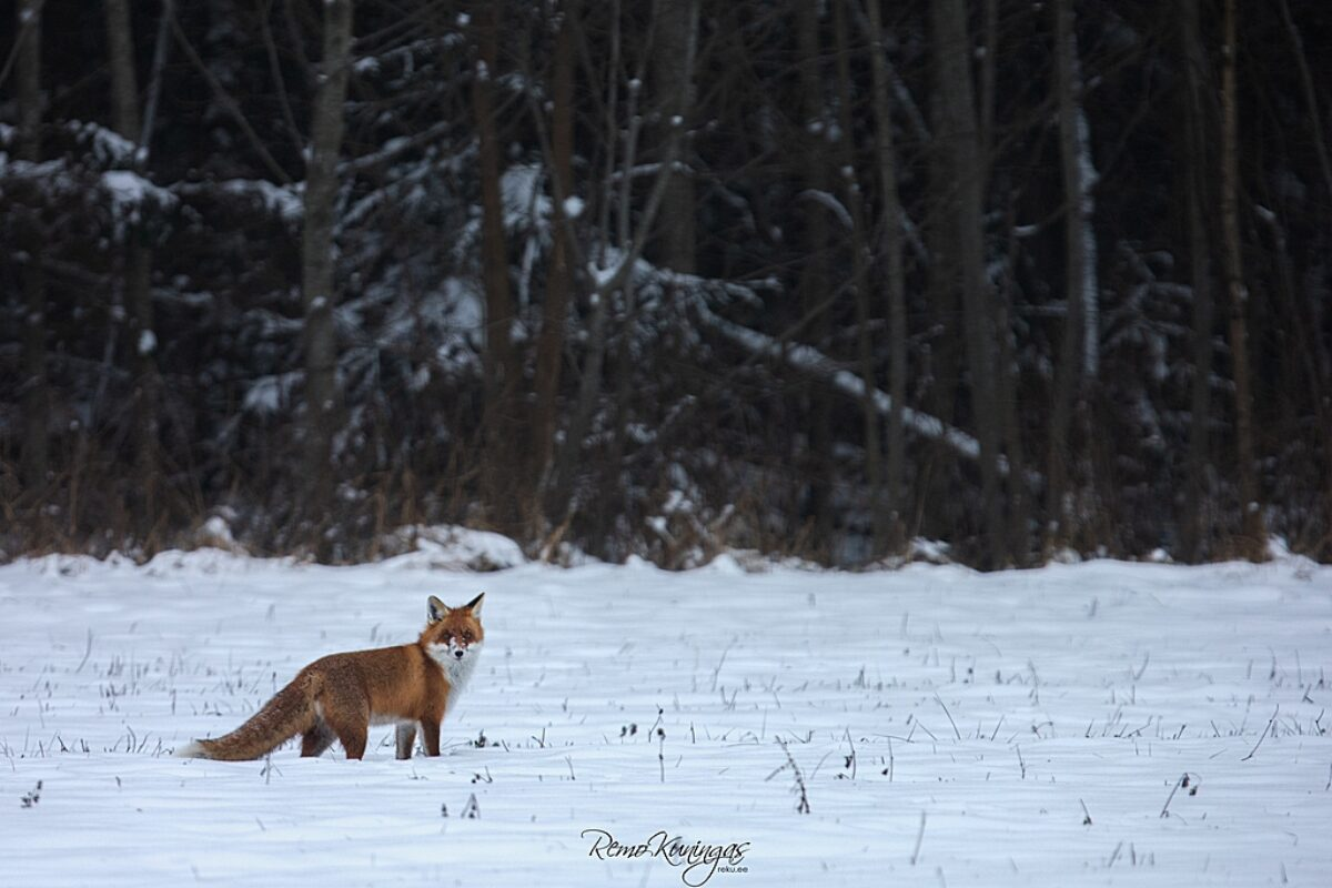 Red fox on a snowy field
