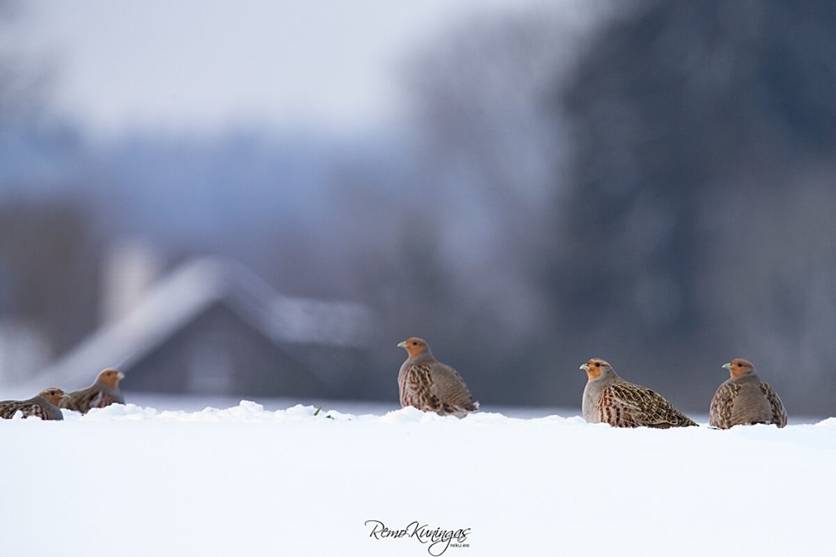 Grey Partridges (Perdix perdix)