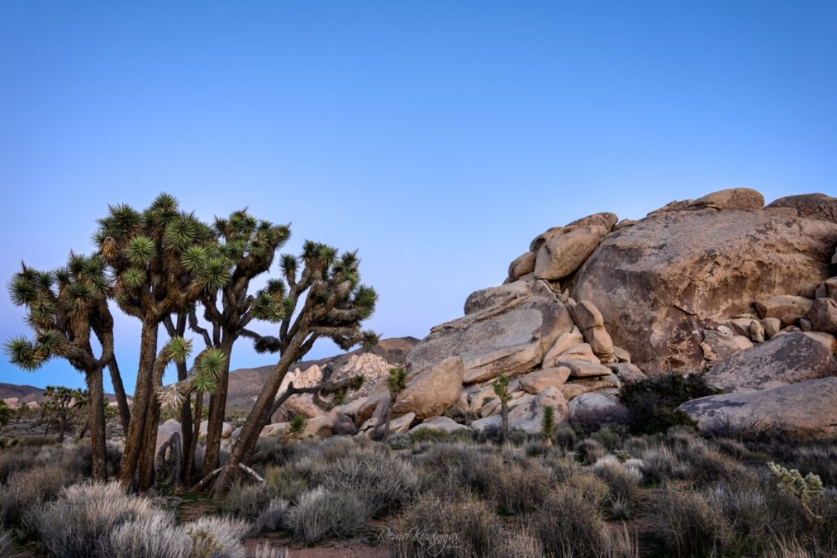 Blue hour at Joshua Tree national park