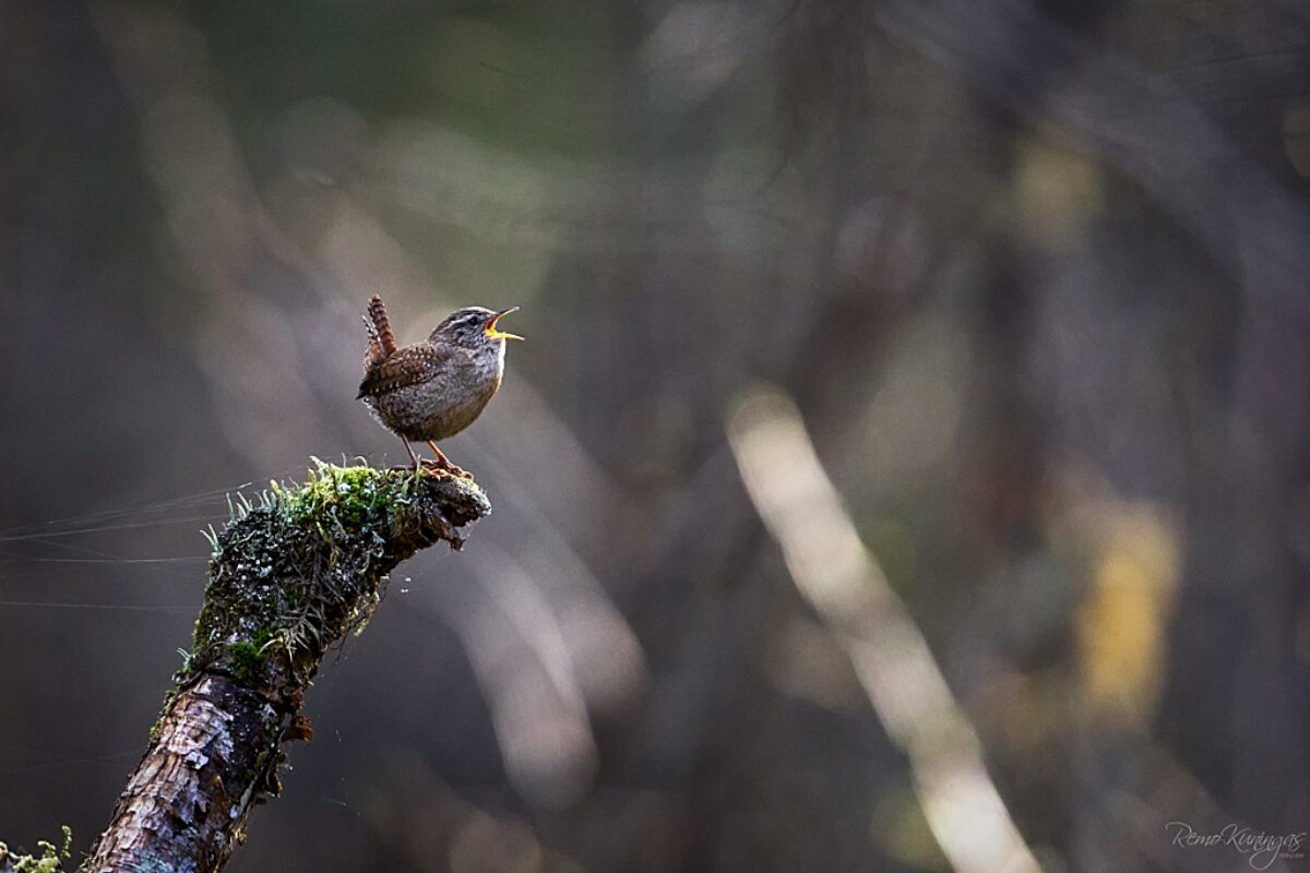 Eurasian Wren singing