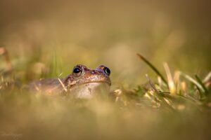 Common frog in the grass