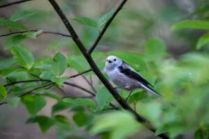 Long-tailed Tit on the branch