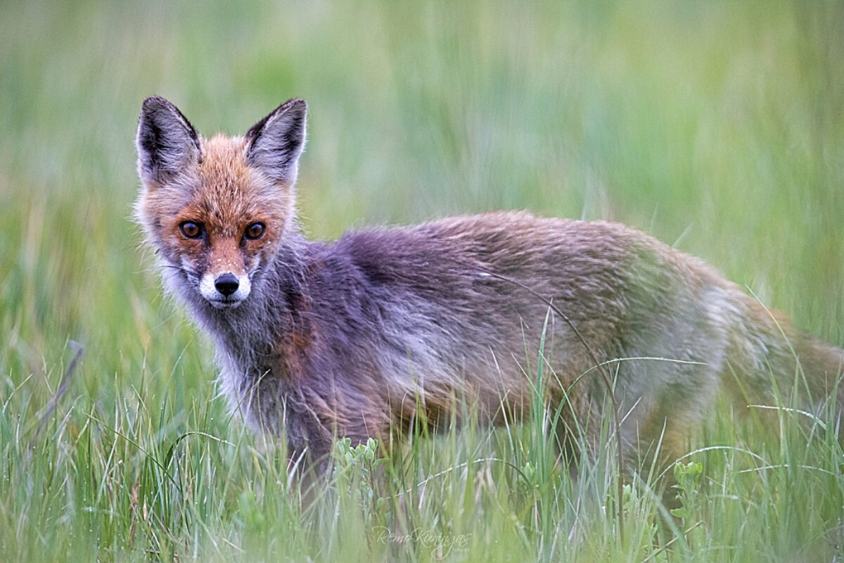 Red fox in partial wintercoat
