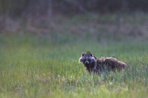 Raccoon dog (Nyctereutes procyonoides)