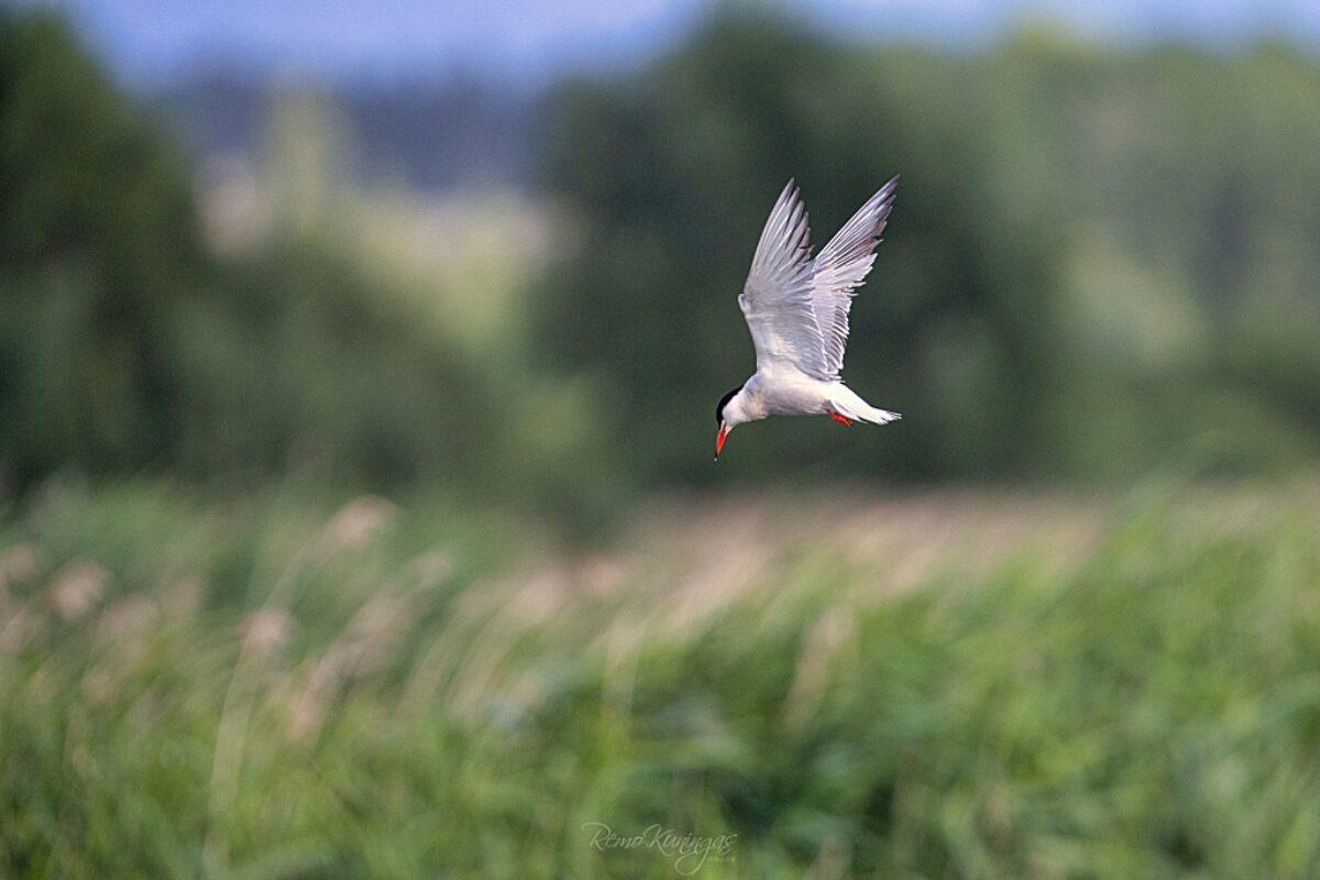 Tern (Sterna hirundo)