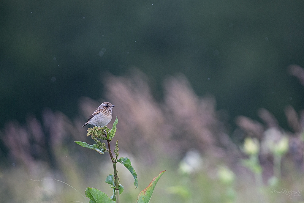 Whinchat in rainfall