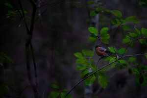 Bullfinch on a buckthorn branch