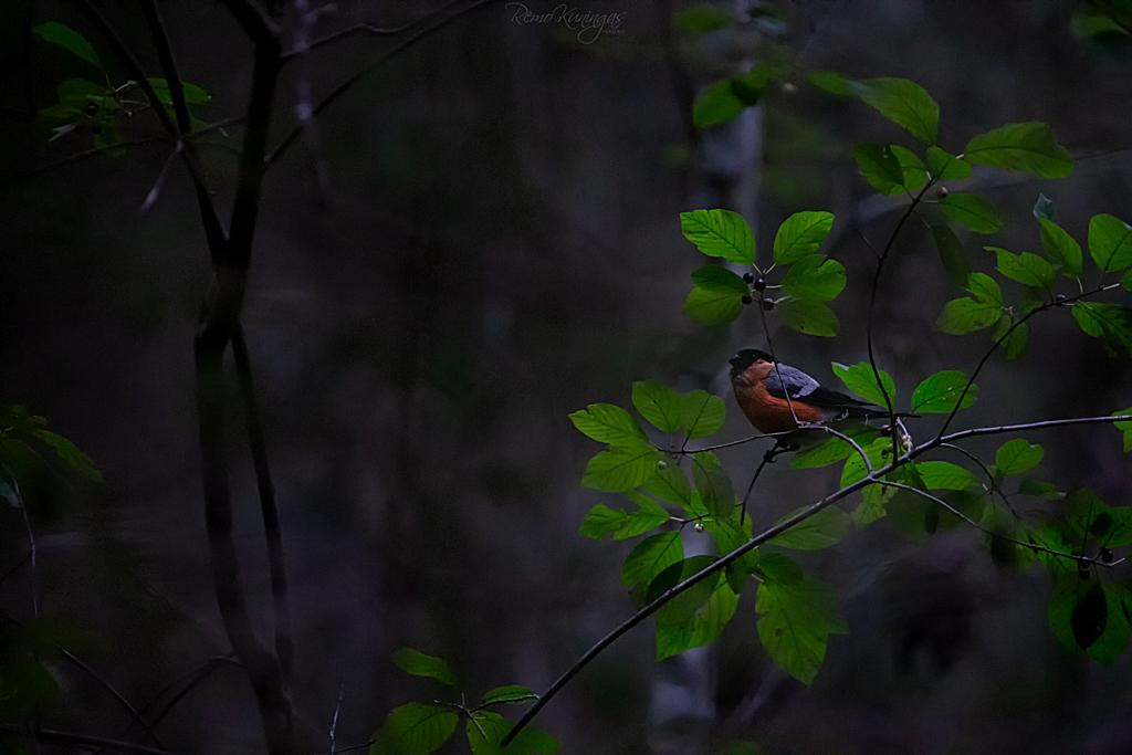 Bullfinch on a buckthorn branch