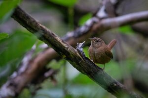 Curious Wren on the branch