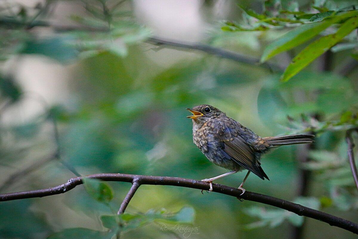 Robin chick