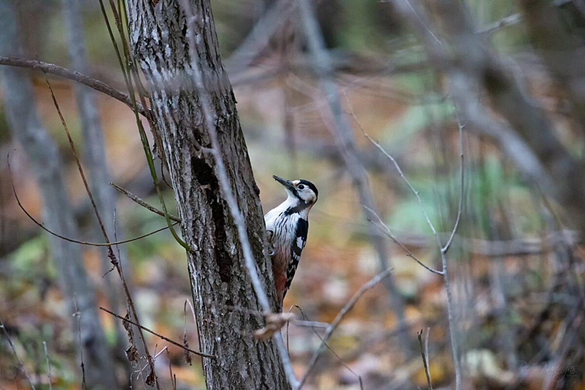 White-backed woodpecker in autumn forest