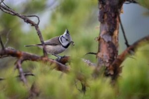 Crested tit with a catch