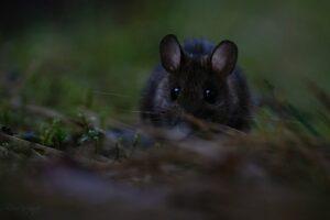 Yellow-necked mouse (Apodemus flavicollis)