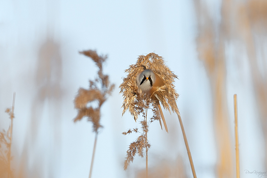 Pisike roohabekas on sättinud ennast keset kõrkjatutti, kus tundub kõige parem koht olevat kõrkja seemnetega maiustamiseks