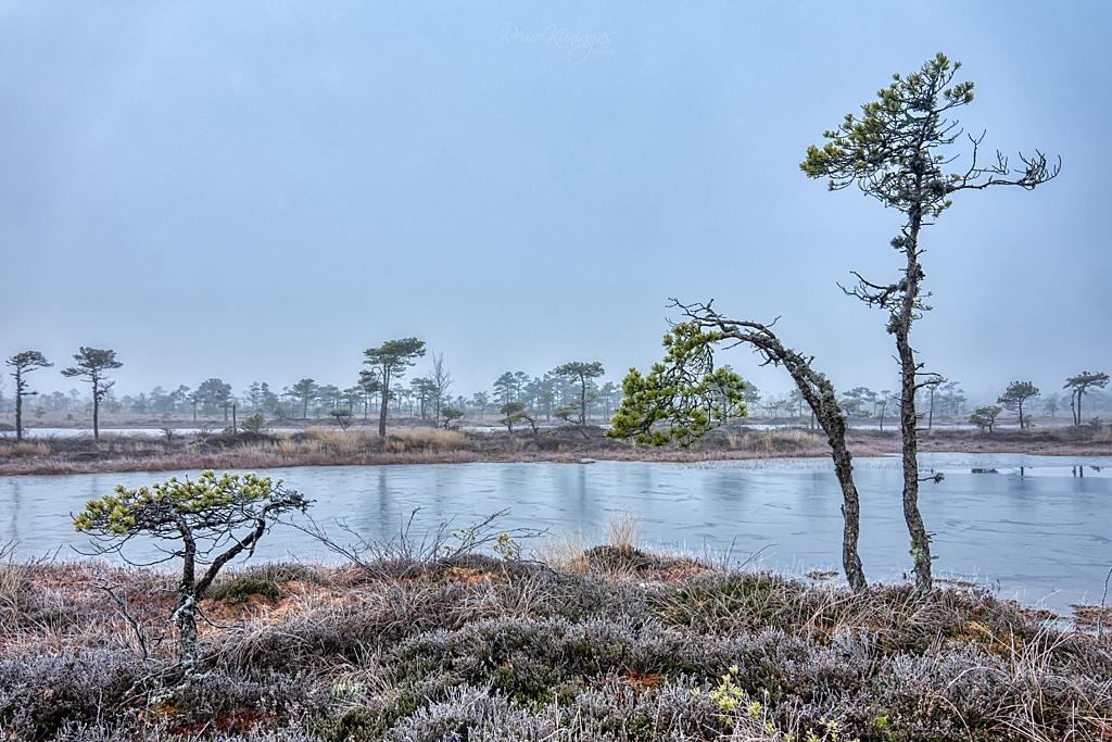 Frozen morning bog