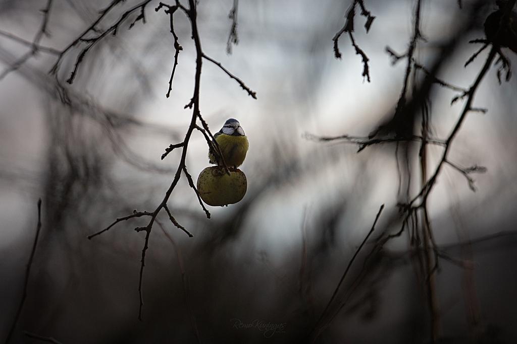 Metsiku õunapuu õunal istuv sinitihane on äravahetamiseni sarnane oma istumisalusega, mis on ühtlasi ka tema toidulauaks