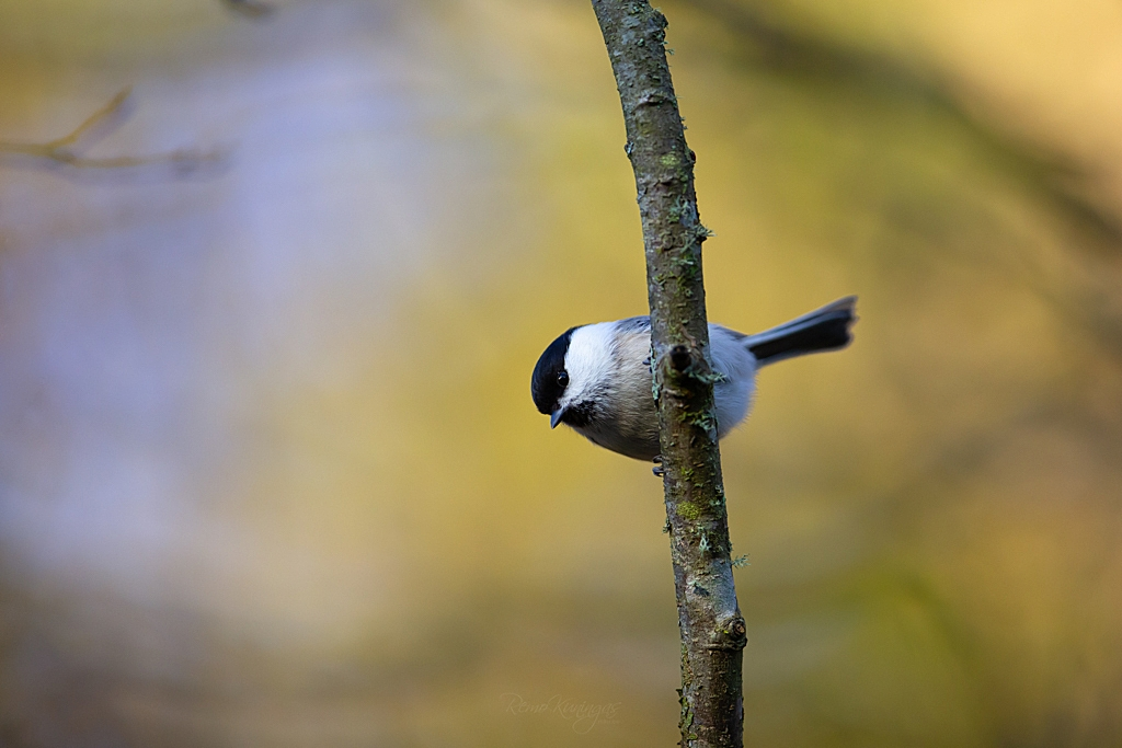 Marsh tit during sunrise