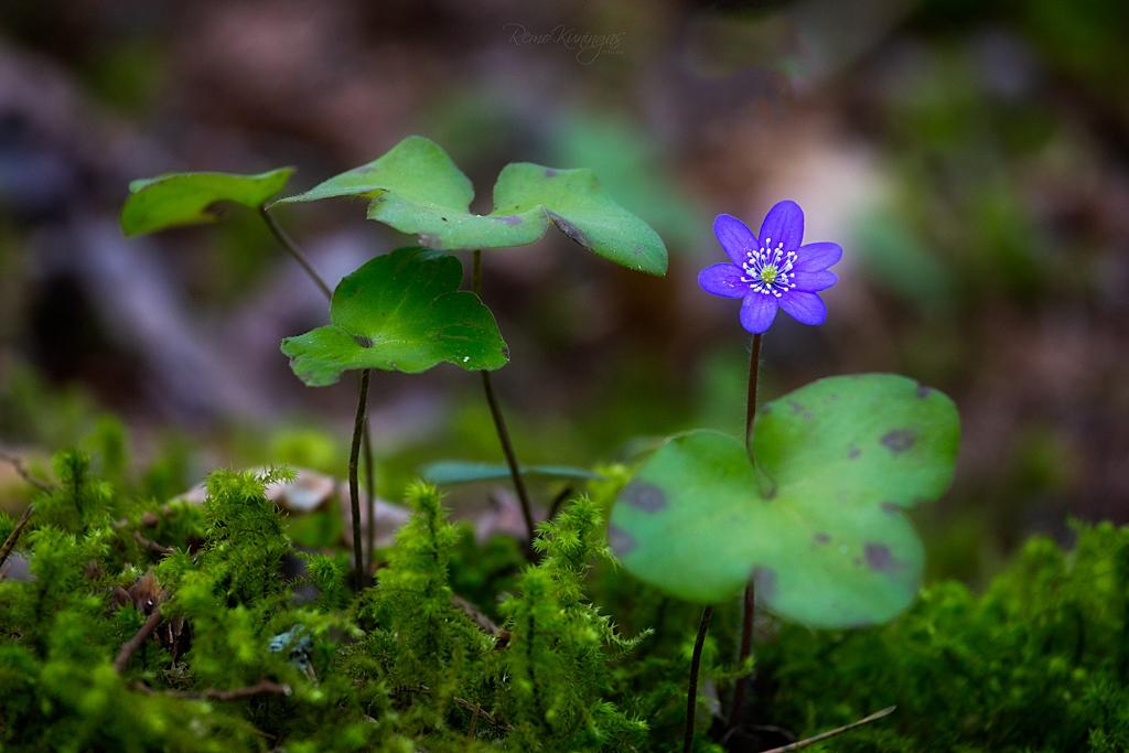 Üksik sinillille õis koos lehtedega ennast sambla seest taeva poole sirutamas