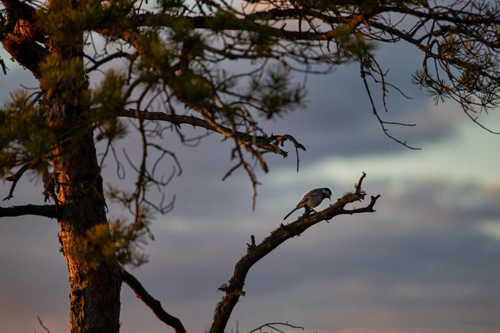 Linavästrik päikeseloojangu ajal nokatäit otsimas rabajärve ääres kasvava männi kuivanud oksal