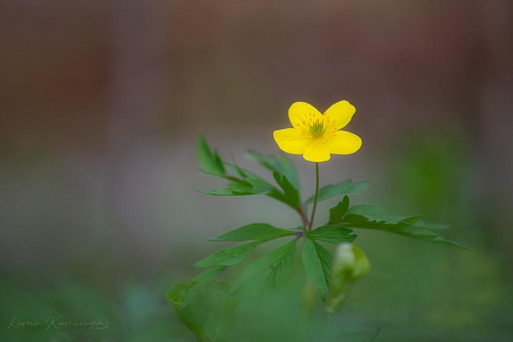 Üksik ülane oma kollast õienuppu päikese poole suunamas
