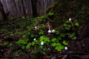 Wet wood sorrel flowers