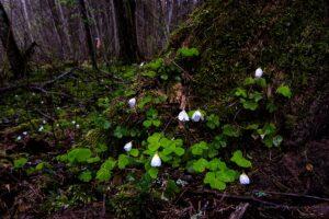 Wet wood sorrel flowers