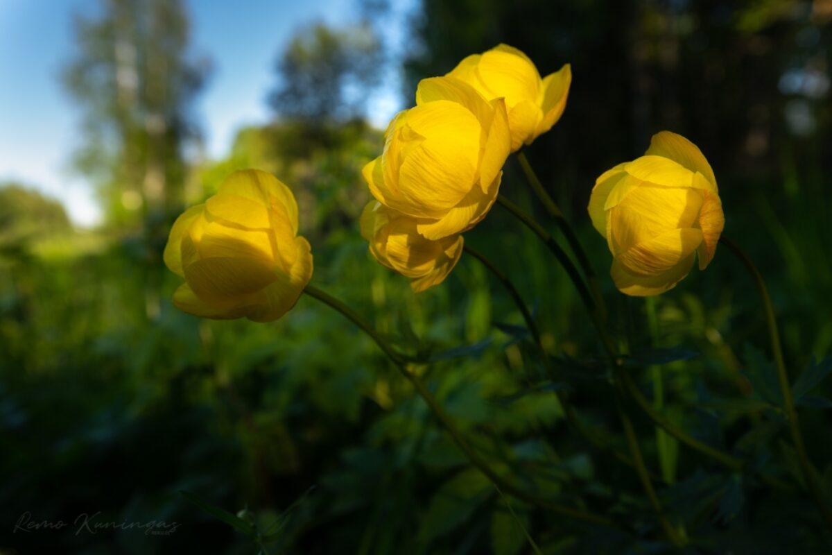 Globeflowers (Trollius europaeus)
