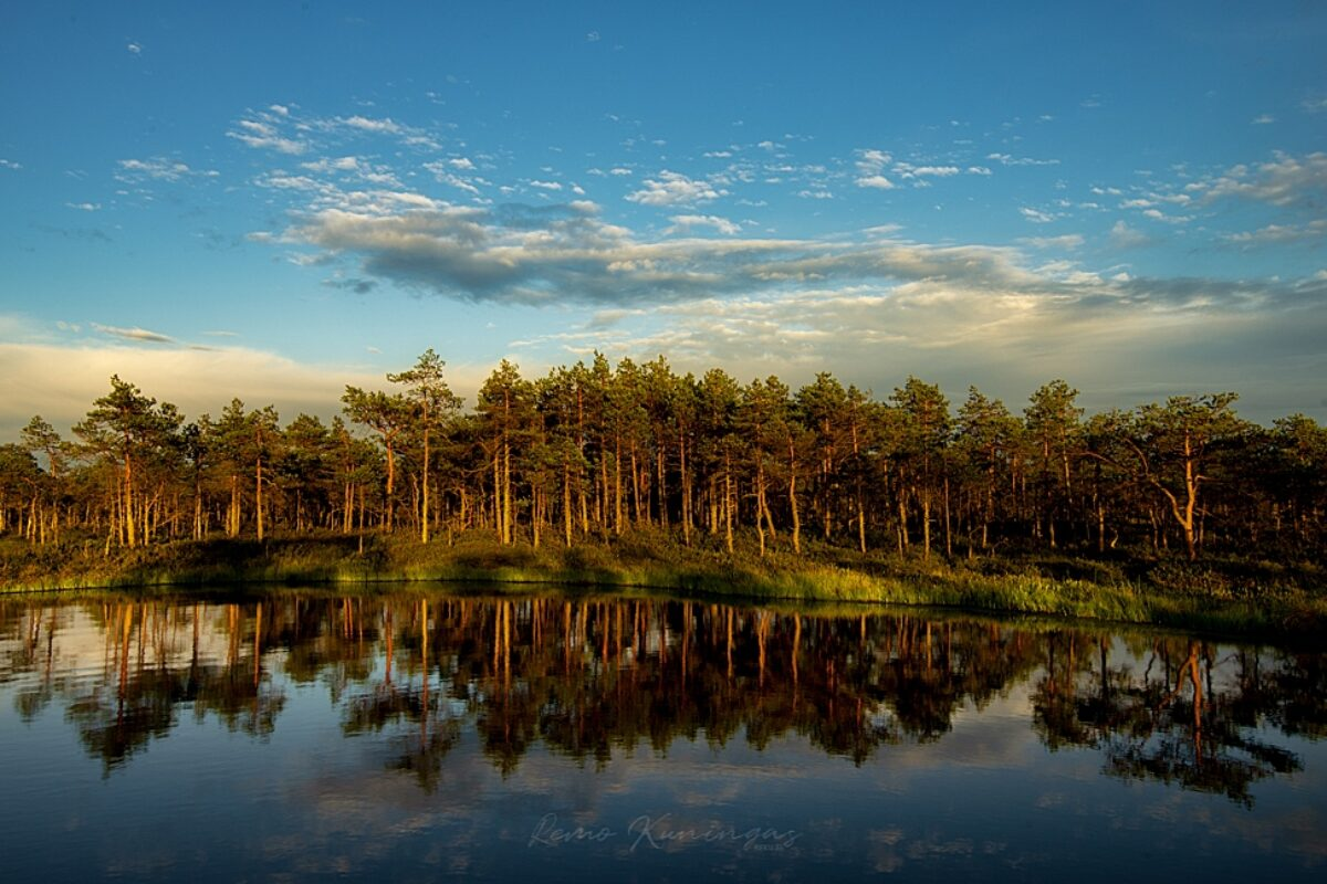 Evening sun on bog pines