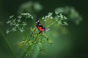 Scarlet tiger (Callimorpha dominula)