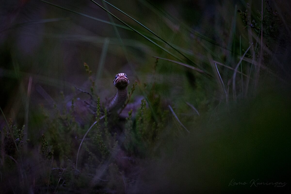 Viper (Vipera berus)