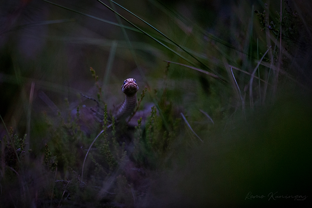 Rästik (Vipera berus)