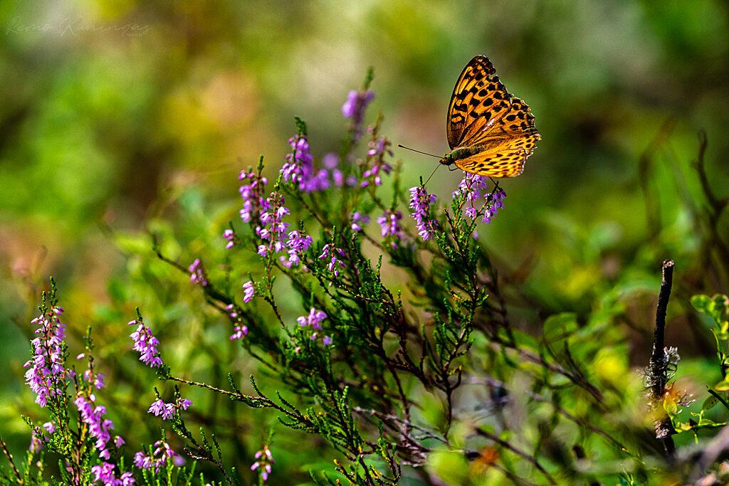 Rohetäpik kanarbiku õiel nektarit imemas (Soomaa rahvuspark)