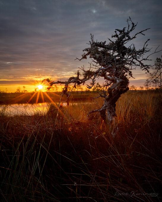 Üks pisike ja kidur rabamänd oma kuivanud ning haralist oksa päikese poole sirutamas justkui tahtes seda oma haardesse võtta (Soomaa rahvuspark)