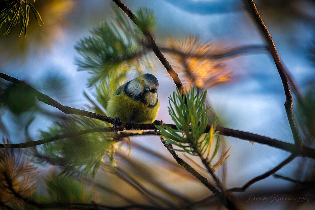 Sinitihane rabamänni okaste vahelt fotograafi uudistamas (Soomaa rahvuspark)