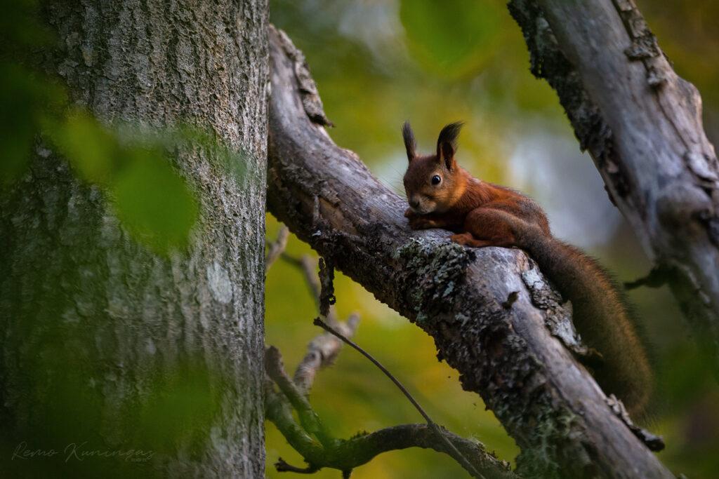 Orav kuivanud oksal valvsalt kaamera poole vaatamas (Soomaa rahvuspark)