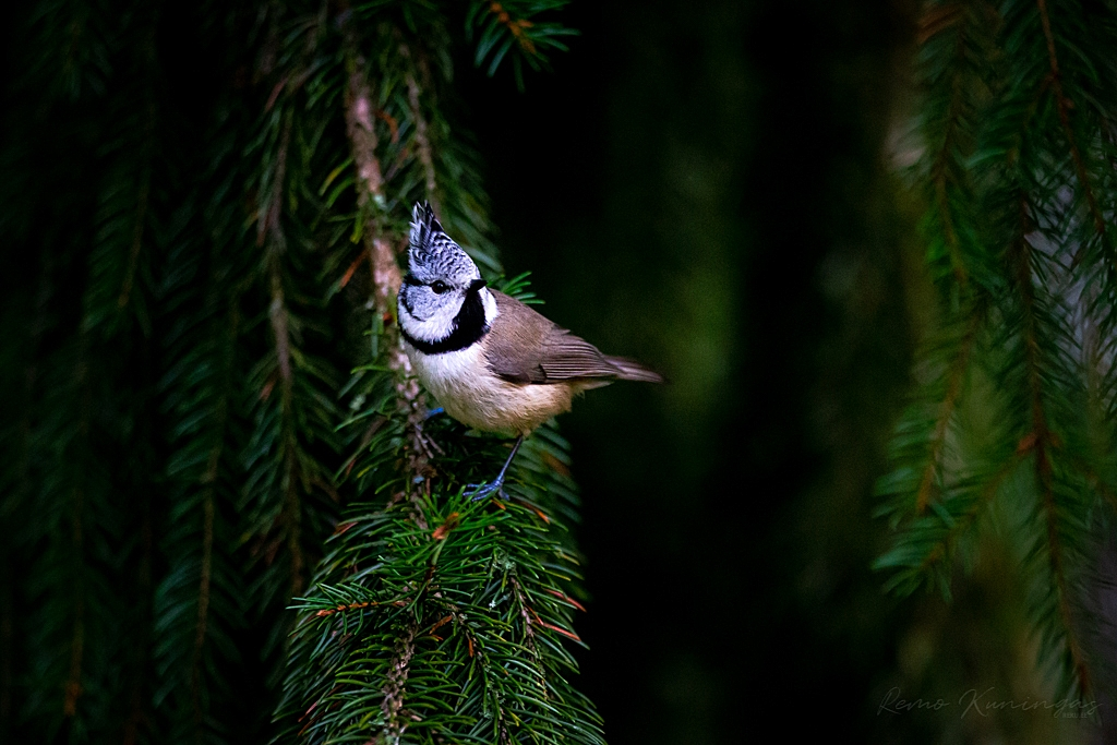 Crested tit on a spruce tree branch