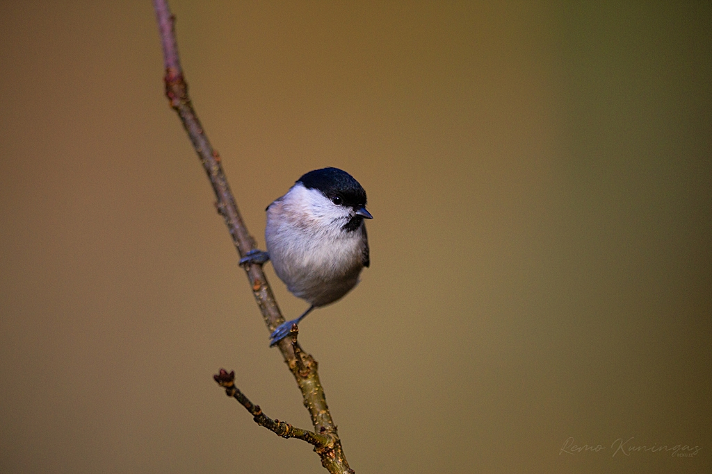 Marsh tit on the branch
